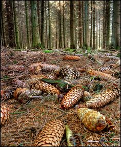 pine cones on the forest floor Walk In The Woods, Cabins In The Woods, Trees And Shrubs, Trees To Plant, Forest Floor, New Forest, Seed Pods, Pine Tree, Pine Cones