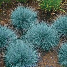 Blue Fescue Ornamental Grass / Perennial Festuca / Drought Tolerant / Sun or Shade Perennial Grasses, Drought Tolerant Plants, Ornamental Grasses, Perennials, Ornamental Grass Landscape, Fescue Grass Seed, Blue Fescue, Pampas Grass, Fountain Grass