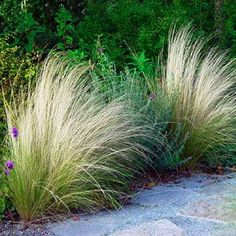 Mexican Feather Grass - Nassella tenuissima.  Native to TX, New Mexico and Mexico.