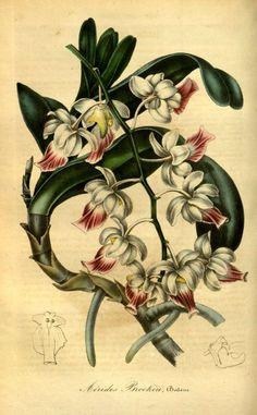 """Aërides Brookeii, Balem. -- """"Flore des serres et des jardins de l'Europe"""" v.1 (1845), ed. by Louis van Houtte"""