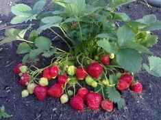 Trei sfaturi pentru cultivarea căpșunilor. Obțineți recolte bogate în fiecare an! - Retete Usoare