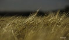 Wheat dancing in the wind.