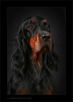 Gordon Setter by © LAINI & SAMIN, via www.laini.ru