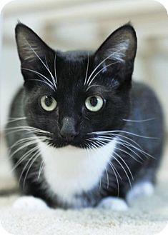 HILLSBORO, OR - Domestic Shorthair. Meet Pippi 'Offered by Owner', a cat for adoption. http://www.adoptapet.com/pet/12925514-hillsboro-oregon-cat