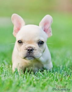 Love, Love Frenchies.