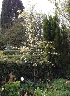 Young Amelanchier 'Ballerina' showing spring blossom