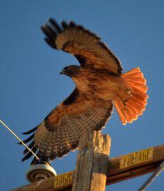 Barstow has hawks in abundance.