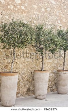 Blooming olive trees in terracotta pots arranged in a row along a cobblestone wall. Vertically oriented image.