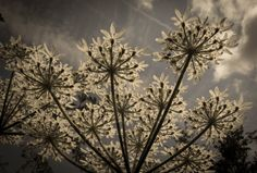 Cow parsley- koiranputki Cow Parsley, Dandelion, Flowers, Plants, Photography, Patterns, Block Prints, Photograph, Dandelions