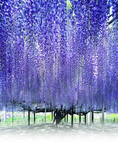 あしかがフラワーパーク/栃木の藤