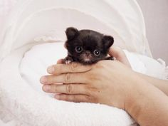 Amazing Adorable Micro CoCo Bear ~ Micro Teacup Chihuahua Extreme Tiny Baby Available!