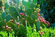 El nopal es una planta rústica muy fácil de cultivar que no tiene apenas exigencias y además es muy resistente.