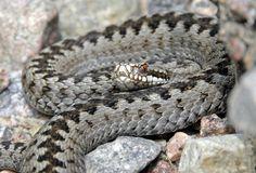 Common Viper Viper, Snakes, Wedding Rings, Cottage, Engagement Rings, Enagement Rings, Cottages, A Snake, Snake