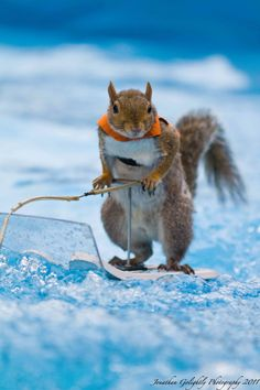 """Twiggy"", the water skiing squirrel!"
