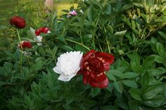Peonies from Frances Palmer's garden