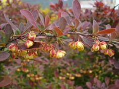 Berberis thunbergii : plantation, taille et entretien