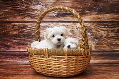 Pies, Maltańczyk, Szczeniak, Spać, Słodki, Zwierzę