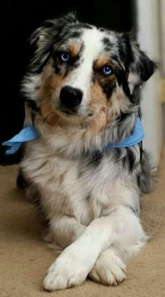 Blue Merle Australian Shepherd (Love to see Mattie when she lays with her paws crossed like this) - My Doggy Is Delightful