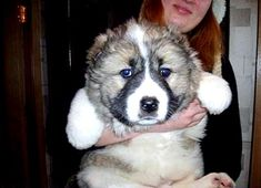Caucasian Mountain Dog puppy... giant, giant puppy. I REALLY want one of these!
