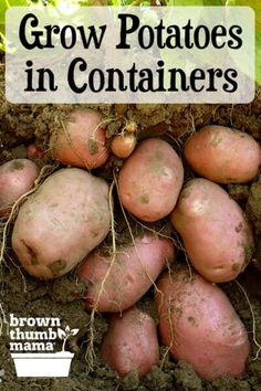Growing potatoes in containers is the easiest way to get a huge harvest. Learn potato planting tips and what size container you need for growing potatoes. #gardening #containergardening #growyourownfood