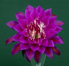 "Epiphyllum ""Oberon"""