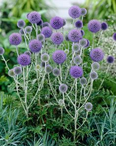 """Echinops ruthenicus Platinum Blue   Globe Thistle Type: Perennials Height: Tall 3' (Plant 16"""" apart) Bloom Time: Early Summer to Late Summer..."""