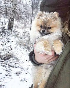 Delightful Comical And Sweet Pomeranian Ideas. Charming Comical And Sweet Pomeranian Ideas. Cute Puppies, Cute Dogs, Dogs And Puppies, Doggies, Cute Baby Animals, Animals And Pets, Cute Pomeranian, Puppy Husky, Dog Life