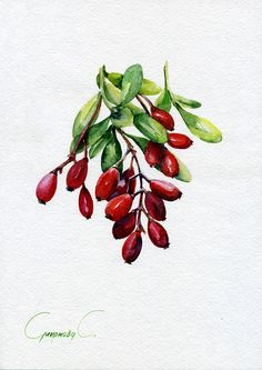 Barberry, Red, berries, Watercolor Original Painting from the Artist #Realism