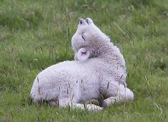OHHHHH Little lamb