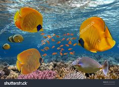 Masked Butterfly Fish And Coral Reef, Red Sea, Egypt. Стоковые фотографии…