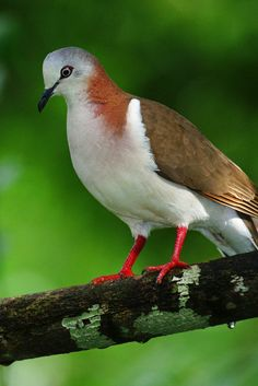 The Caribbean Dove (Leptotila jamaicensis) found in the Cayman Islands, Colombia (San Andrés island), Honduras (Bay Islands), Jamaica, and Mexico (Yucatán Peninsula) & introduced to New Providence in the Bahamas. Exotic Birds, Colorful Birds, Pretty Birds, Beautiful Birds, Dove Pigeon, Dove Bird, Kinds Of Birds, Bird Pictures, Birds Of Prey