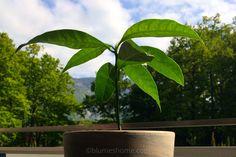 La mangue est le premier fruit tropical que j'ai réussi à faire pousser, j'étais aux anges lorsque je l'ai vu sortir de terre ! Cette plante est particulièrement jolie à