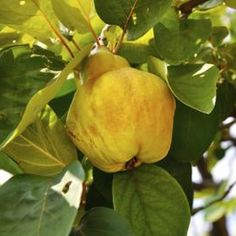 Quince yellow as they ripen, have some fuzz, and smell of floral vanilla. They come off with a light tug, around the time of the first frost. Veg Garden, Garden Trees, Edible Garden, Quince Fruit Tree, Fruit Trees, Ripe Fruit, Green Fruit, Orange Recipes, Fruit Recipes