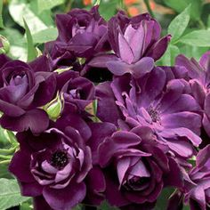 Purple roses - best of both worlds