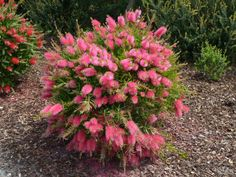 Calistemon salignus 'perth pink' double the value - pink flowers spring and autumn new foliage is pink as well. Hardy grows to .Great hedge or screen plant Australian Garden Design, Australian Native Garden, Australian Native Flowers, Australian Plants, Australian Food, Cottage Garden Plants, Garden Planters, House Plants, Planting Shrubs