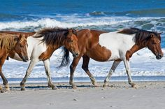 You won't see any high rise hotels or boardwalks on this fairytale island. Instead, prepare to fall in love with the wild Chincoteague ponies, who are free to roam across the Assateague Island National Seashore. For more information, visit chincoteaguechamber.com. RELATED: 12 American Islands You Need to Visit Before You Die   - CountryLiving.com