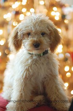 our mini goldendoodle Snickerdoodle