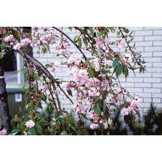 Japankirsebær 'Kiku-Shidare-Zakura' - Plantasjen.no