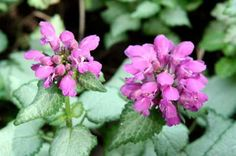 Lamium maculatum 'Red Nancy', 15 cm.  Evergreen.  Silver leaves and pinky red flowers as against the white of the next listed.