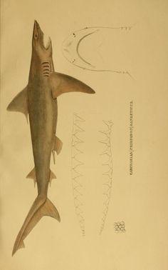 1841 | Systematische Beschreibung der Plagiostomen / - Biodiversity Heritage Library | SHARKS