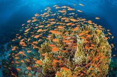 Удивительной красоты коралловые рифы Красного моря со снующими среди них разноцветными рыбками
