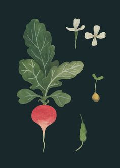 Art And Illustration, Vegetable Illustration, Food Illustrations, Watercolor Fruit, Plants Are Friends, Fruit Art, Arte Floral, Colorful Flowers, Sgraffito