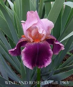 HERITAGE IRISES                                                                                                                                                                                 More
