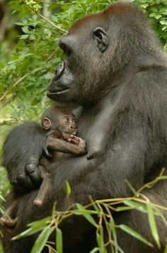 Gorilla with infant