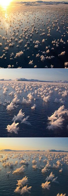 Arctic Ice Flowers of Bosnia: It's a phenomenon that is common in the Arctic climate. They are basically ice crystals that form in the frigid air above the ocean surface.  I read that for them to form the air must be -7.6 degrees F and with calm winds so that the flowers don't blow away.  They usually survive no longer than 2-wks.