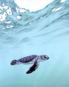 5 tips for a relaxed flight Best photos, images, and pictures gallery about baby sea turtle - sea turtle facts. Save The Sea Turtles, Baby Sea Turtles, Cute Turtles, Turtle Baby, Beautiful Creatures, Animals Beautiful, Cute Baby Animals, Funny Animals, Animals Sea