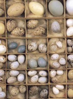 Birds Eggs, USA.  Massachusetts, Sherborn.  Antique bird egg collection (1900)
