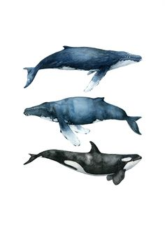 The Three Whales are part of the Whale Collection. It's a collection of The best of the best, the crème de la crème. Two humpbacks and one killer whale. It's an illustration of tranquility . Whale Painting, Watercolor Whale, Painting & Drawing, Watercolor Paintings, Whale Drawing, Le Morse, Desenio Posters, Whale Illustration, Whale Tattoos