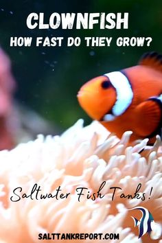 Learn about Clownfish and find out how fast they grow in saltwater tanks! Saltwater Tank, Saltwater Aquarium, Aquarium Fish, Fishing For Beginners, Nano Tank, Clownfish, Marine Aquarium, Salt And Water, Fish Tank