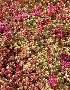 Sedum-spurium-punainen-8.9.05 Garden, Red, Garten, Lawn And Garden, Gardens, Gardening, Outdoor, Yard, Tuin